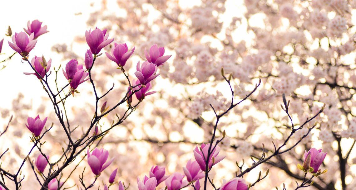 Arbres en fleurs roses